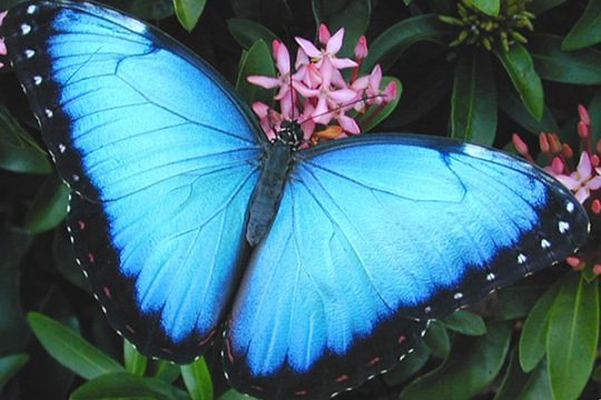 common-blue-morpho