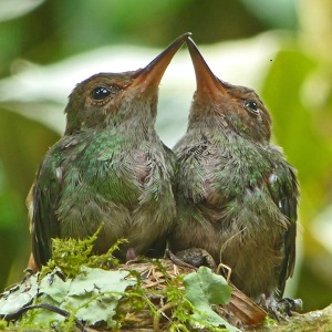 Crop of Baby Hummingbirds in Geckoes Garden, Geckoes Lodge, Puerto Viejo, Costa Rica