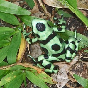 Black-green poison dart frog