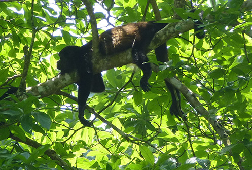 Howler monkey resting on a tree at Puerto Viejo Geckoe Lodge