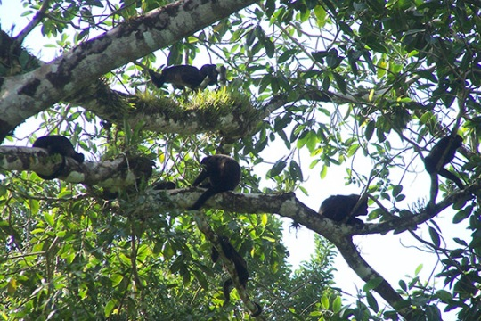 Monkey party at Geckoes Lodge in Puerto Viejo