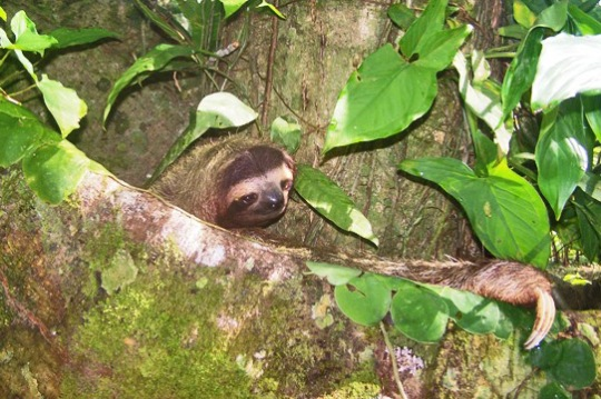 Sloth looks comfy at Puerto Viejo