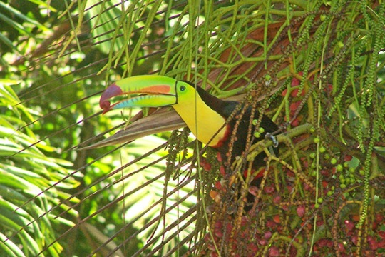 Toucan-eating-Palm-fruit,-Geckoes-Lodge,-Cocles,-Puerto-Viejo,-Costa-Rica