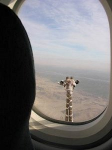 Giraffe looks inside the plane