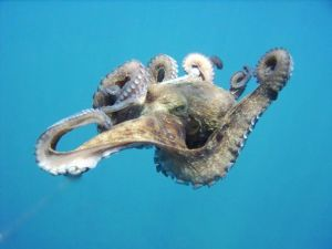 Octopus in Red Sea